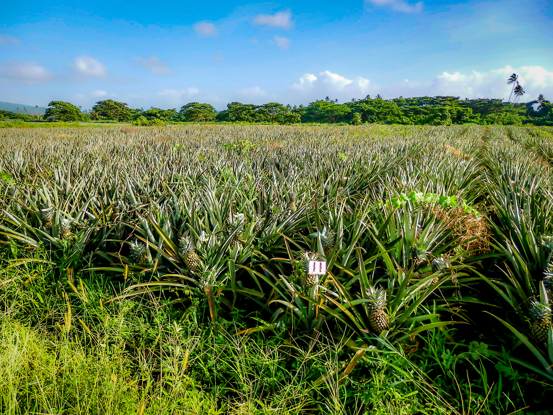 Growing Pineapples on Taveuni as a cash crop