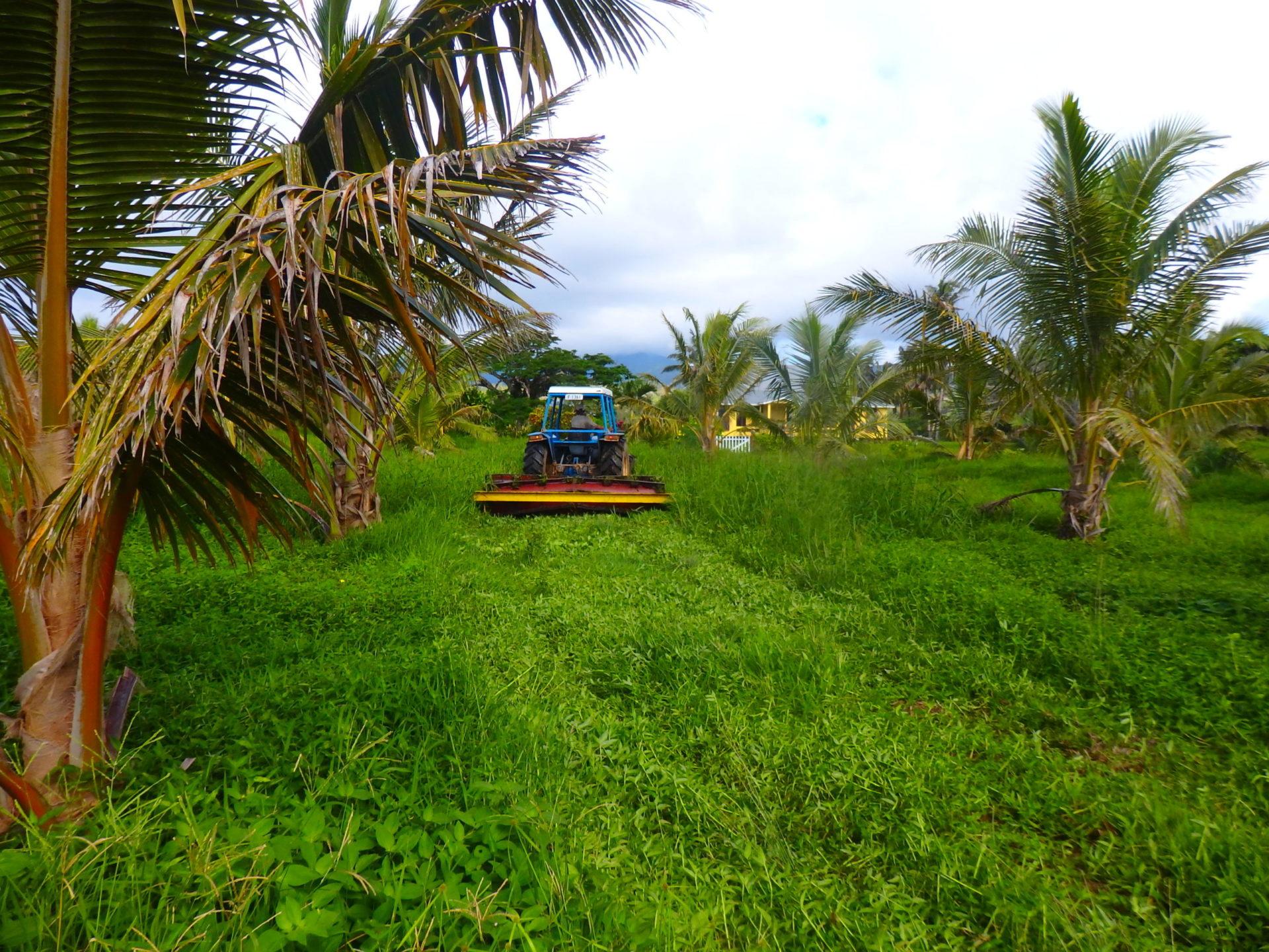 Growing Pineapples on Taveuni as a cash crop